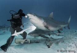 Back light bull shark feeding by Shane Gross