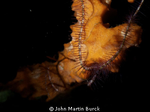 Some sort of Brittle star over coral by John Martin Burck