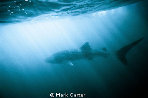 Whale shark off Ningaloo reef, North Western Australia. L... by Mark Carter