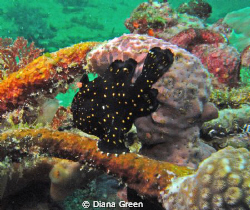 Frogfish (Juvenile).  Taken at Puerto Galera, Philippines... by Diana Green