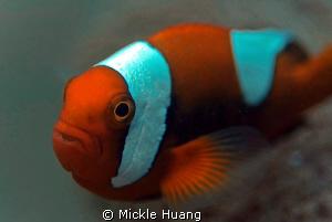 SADDLEBACK Saddleback anemonefish Dumaguette the Philip... by Mickle Huang