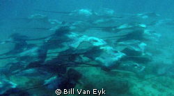 Photo taken while free diving.  All of the sudden a schoo... by Bill Van Eyk