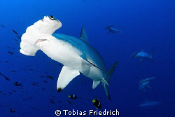 Hammerhead Sharks. by Tobias Friedrich