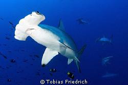 Hammerhead Sharks. by Tobias Friedrich