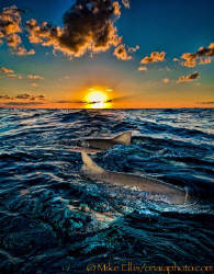 Lemon Sharks at Sunset on the Little Bahamas bank. by Mike Ellis