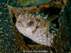 The orbicular burrfish seemed very much at home in this o... by Paul Flandinette
