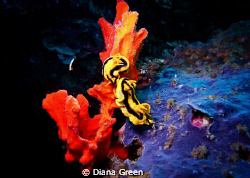 Nudibranch - love is in the air.  Taken at Puerto Galera,... by Diana Green