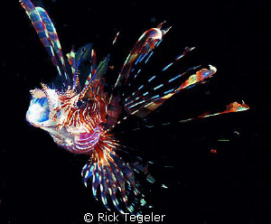Lionfish... Kulau... East New Britain, PNG. by Rick Tegeler