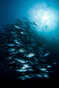 jacks on Liberty wreck - Tulamben - Bali