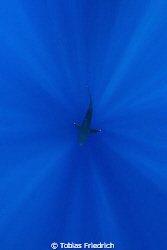 Silvertip shark centered in sunlight, looking down in the... by Tobias Friedrich