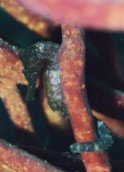 Seahorse. Bonaire. by Jacques Miller