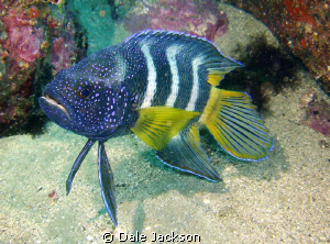 Eastern Blue Devil fish. 