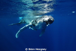 1 second to impact with a 4 tonne baby Humpback Whale. Ouch! by Brian Heagney
