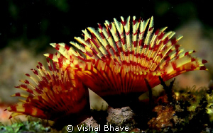 A beautiful Christmas tree Worm (Sabellidae: Annelida) fr... by Vishal Bhave