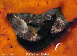Crab inside, its sponge hide out, evaluating its next mea... by Peet Van Eeden