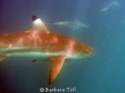 Blacktip shark by Barbara Toll