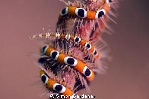 brittle star shot with 105mm macro by Simon Gardener
