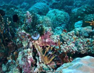 Black and yellow Lacy Scorpionfish -Rhinopias aphanes. by John Martin Burck