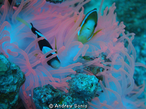 Anemone fish on pink coral.  Great way to start off dive ... by Andrew Sonis
