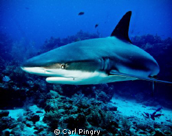 Close encounter with a Caribbean reef shark in Roatan by Carl Pingry