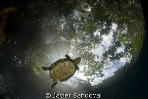 fresh water turtle swiming in cenote angelita near Tulum ... by Javier Sandoval