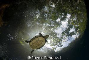 fresh water turtle swiming in cenote angelita near Tulum ... by Javier Sandoval
