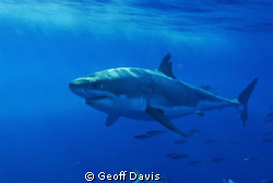 Great White lounging off of Gaudalupe Island. by Geoff Davis