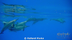 Spinner Dolphins in the open ocean by Richard Marks