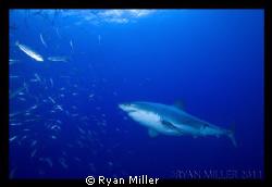 White Shark, Guadalupe Island Sept 2011 by Ryan Miller
