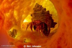Hermit Crab in Tube Sponge by Boz Johnson