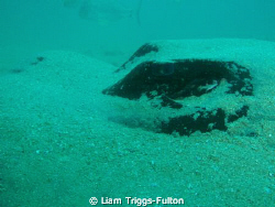 Using a olympus sw1030,   This bull ray was relaxing on... by Liam Triggs-Fulton