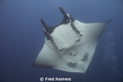 This close encounter with a manta ray took place in the A... by Fred Remers