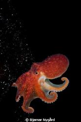 Eledone cihrrosa (Curled Octopus) on some kelp ready to t... by Bjørnar Nygård