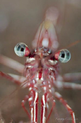 A hingebeak shrimp at Seraya. by Tammy Gibbs