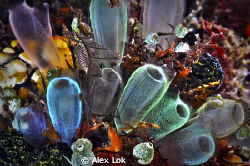 Softcorals at Lembeh Straits, taken by Nikon D300 with ik... by Alex Lok