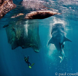 resident whalesharks of cenderawasih bay vertically feedi... by Paul Cowell