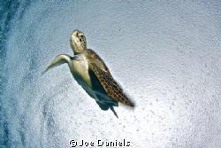 Turtle in the rain by Joe Daniels