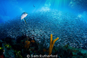 Bait ball against a backdrop of deep blue sea and sun rays by Sam Rutherford