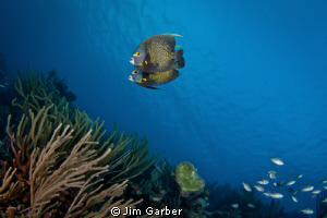 Queen Angels in Bonaire by Jim Garber