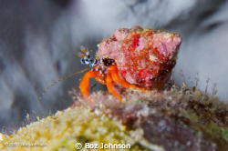Red Reef Hermit Crab by Boz Johnson