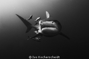 A TIGER SHARK WITH ITS ENTOURAGE, PHOTOGRAPHED OF UMKOMAA... by Ivo Kocherscheidt
