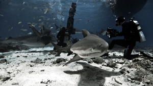 The large Tiger Shark in the background cause the curious... by Steven Anderson