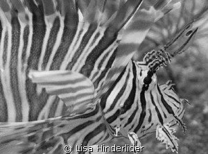 Lionfish portrait in BW by Lisa Hinderlider