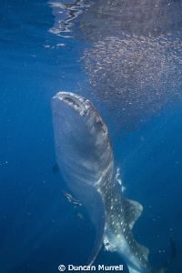 Whale shark feeding on bait ball at the surface, Honda Ba... by Duncan Murrell