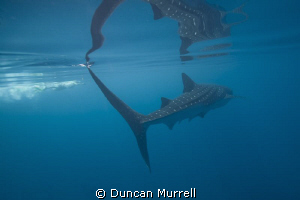 I am intrigued by the amazing reflections of whale sharks... by Duncan Murrell
