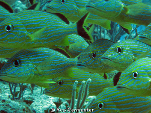 These Blue striped grunts were posing for us at the dive ... by Ros Parmenter