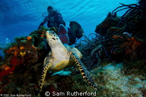 Turtle looking over shoulder by Sam Rutherford