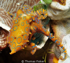 Blue ring octopus by Thomas Fisker