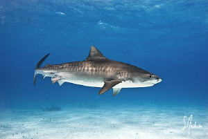 Beautiful female Tiger Shark in for a closer look with ve... by Steven Anderson