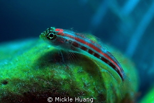 LITTLE ONE Triplefin i guess Tulamben Bali by Mickle Huang